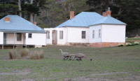 Cape Barren geese and family