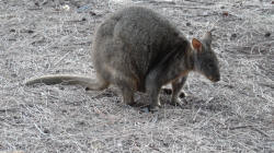Pademelon at Trousers Point