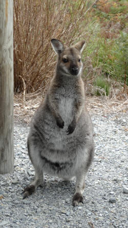 Bennetts Wallaby at Pennys Lagoon