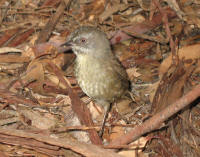 Brown scrubwren at Ketchem Bay